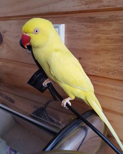 Ringneck Parrots For Sale Online