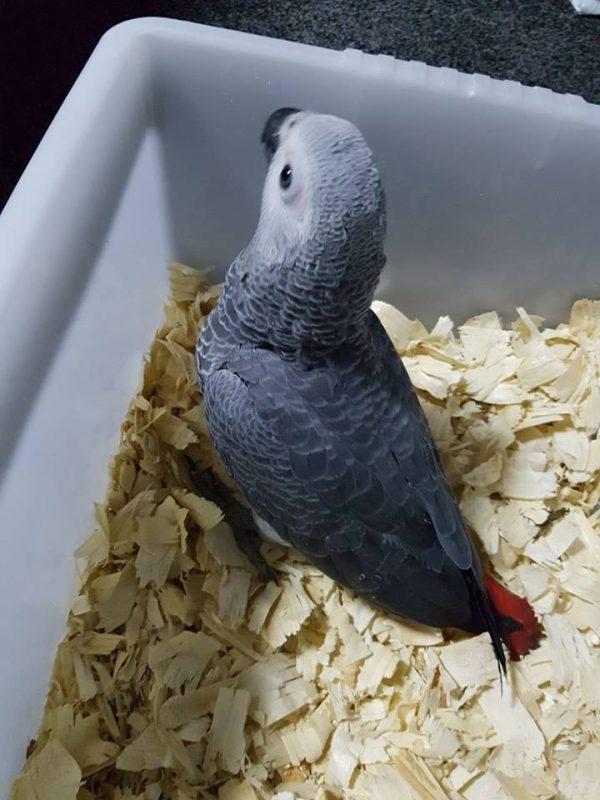 Buy African Grey Parrots New York