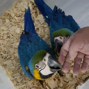 Macaw Parrots For Sale California