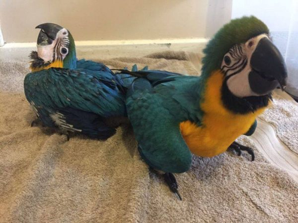 Blue And Gold Macaws For Sale California