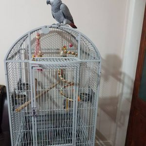 African Grey Parrot For Sale Near Me